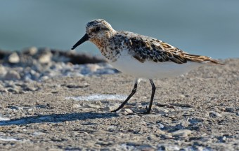 Sanderling - Summerville Pier - © Dick Horsey - Jul 26, 2016