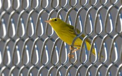 Yellow Warbler - Summerville Pier - © Dick Horsey - Jul 26, 2016
