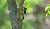 Red-headed Woodpecker - Hamlin Beach Park - © Dick Horsey - Jul 26, 2016