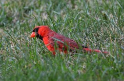 Northern Cardinal - Highland Park - © Dick Horsey - Jul 29, 2016