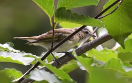 Red-eyed Vireo - Highland Park - © Dick Horsey - Jul 29, 2016