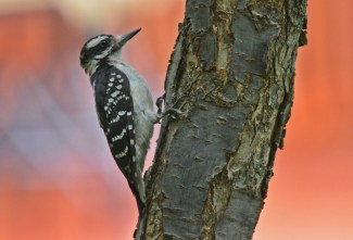 Hairy Woodpecker - Highland Park - © Dick Horsey - Jul 29, 2016