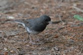 Dark-eyed Junco - Highland Park - © Dick Horsey - Jul 29, 2016