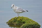 Ring-billed Gull (1st yr) - Irondequoit Bay Outlet - © Dick Horsey - Aug 01, 2016