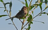 Song Sparrow - High Acres Nature Area - © Dick Horsey - Aug 09, 2016