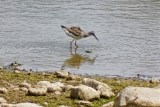 Lesser Yellowlegs - King's Bend Park - © Candace Giles - Aug 13, 2016
