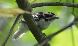 Downy Woodpecker - High Acres Nature Area - © Dick Horsey - Aug 17, 2016