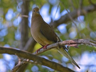 Mourning Dove - Lakeview Church Trail - © Dick Horsey - Aug 22, 2016