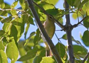 Warbling Vireo - Lakeview Church Trail - © Dick Horsey - Aug 22, 2016