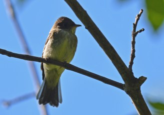 Eastern Wood-Pewee - Lakeview Church Trail - © Dick Horsey - Aug 22, 2016