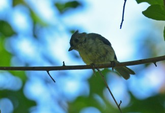 Tufted Titmouse - Whiting Road Nature Preserve - © Dick Horsey - Aug 24, 2016