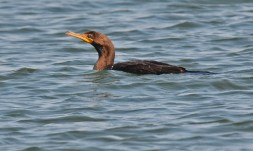 Double-crested Cormorant - Hamlin Beach Park - © Dick Horsey - Aug 26, 2016