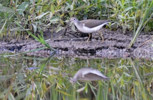 Spotted Sandpiper - Brickyard Trail - © Dick Horsey - Aug 29, 2016