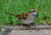 White-throated Sparrow - Webster - © Peggy Mabb - Sep 30, 2016
