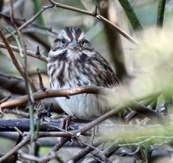 Song Sparrow - Irondequoit - © Candace Giles - Oct 06, 2016
