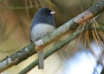 Dark-eyed Junco - Mendon Ponds - © Dick Horsey - Oct 14, 2016