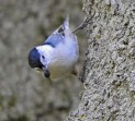 White-breasted Nuthatch - Durand Eastman Park - © Eunice Thein - Oct 14, 2016