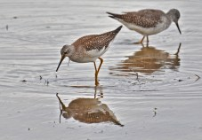 Lesser Yellowlegs - Montezuma NWR - © Dick Horsey - Oct 19, 2016