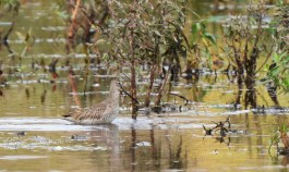 Long-billed Dowitcher - Montezuma NWR - © Dick Horsey - Oct 19, 2016