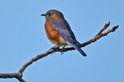 Eastern Bluebird - Hamlin Beach Park - © Dick Horsey - Nov 01, 2016
