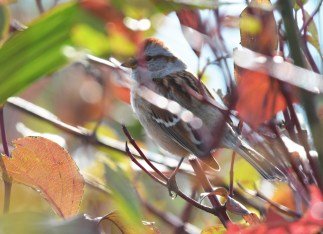 American Tree Sparrow - Hamlin Beach Park - © Dick Horsey - Nov 01, 2016