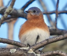 Eastern Bluebird - Hamlin Beach Park - © Eunice Thein - Nov 03, 2016