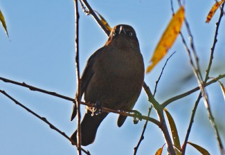 Rusty Blackbird - High Acres Nature Area - © Dick Horsey - Nov 06, 2016