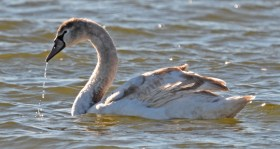 Mute Swan (Juv) - Irondequoit Bay Outlet - © Dick Horsey - Nov 07, 2016