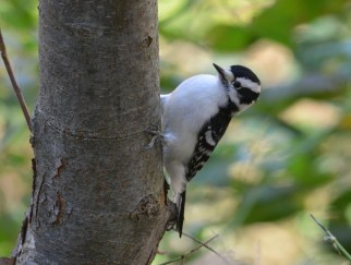 Downy Woodpecker - Durand Eastman Park - © Dick Horsey - Nov 07, 2016