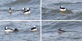 Bufflehead - Webster Park - © Dick Horsey - Nov 12, 2016