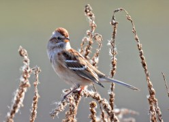 American Tree Sparrow - High Acres Nature Area - © Dick Horsey - Nov 15, 2016