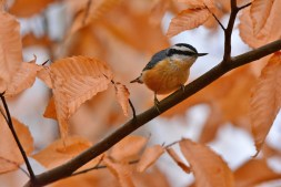 Red-breasted Nuthatch - Hamlin Beach Park - © Nick Kachala - Nov 25, 2016