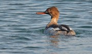 Red-breasted Merganser - Hamlin Beach Park - © Dick Horsey - Nov 28, 2016