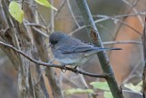Dark-eyed Junco (F - Slate-colored) - Hamlin Beach Park - © Dick Horsey - Nov 28, 2016
