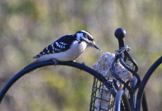 Hairy Woodpecker - Webster - © Peggy Mabb - Nov 13, 2016