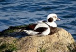 Long-tailed Duck - Irondequoit Bay Outlet - © Candace Giles - Dec 08, 2016