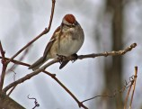 American Tree Sparrow - Mendon Ponds - © Candace Giles - Dec 21, 2016