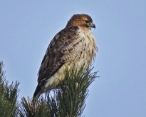 Red-tailed Hawk - Irondequoit - © Candace Giles - Dec 23, 2016