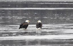Bald Eagle - Irondequoit Bay Outlet - © Eunice Thein - Dec 26, 2016