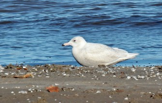 Glaucous Gull - Charlotte Beach (RBA Field Trip) - © Rosemary Reilly - Jan 01, 2017