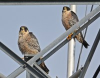Peregrine Falcon - Summerville - © Dick Horsey - Jan 01, 2017