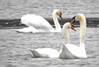 Mute Swan - Irondequoit Bay Outlet - © Eunice Thein - Jan 02, 2017