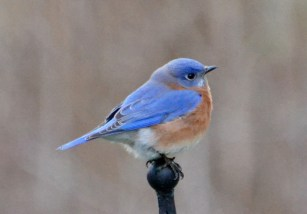 Eastern Bluebird - Webster - © Peggy Mabb - Jan 05, 2017