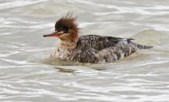 Red-breasted Merganser - Summerville Pier - © Dick Horsey - Jan 13, 2017
