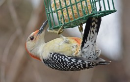 Red-bellied Woodpecker - Mendon Ponds (RBA Field Trip) - © Dick Horsey - Jan 21, 2017