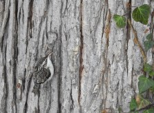 Brown Creeper - Irondequoit - © Candice Giles - Jan 24, 2017