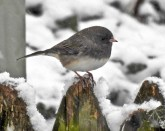 Dark-eyed Junco - Irondequoit - © Candice Giles - Jan 24, 2017