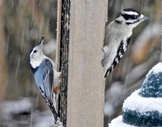 White-breasted Nuthatch (L) and Downy Woodpecker (R) - Irondequoit - © Candice Giles - Jan 24, 2017