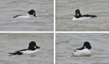 Common Goldeneye - Hamlin Beach Park - © Dick Horsey - Jan 26, 2017