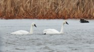 Tundra Swan - Braddock Bay - © Dick Horsey - Jan 26, 2017